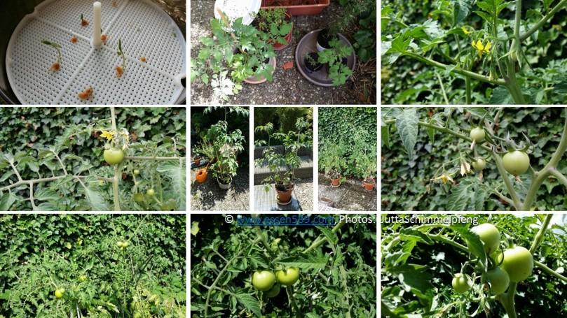 20170731_tomatenpflanzen_www-essen589-com_2