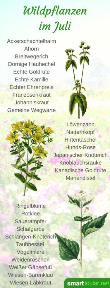 erntekalender-wildpflanzen-pint-juli