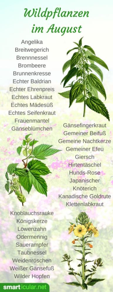 erntekalender-wildpflanzen-pint-august