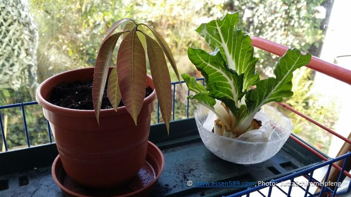 Pflanzenpower im Oktober: Mango und Mangold