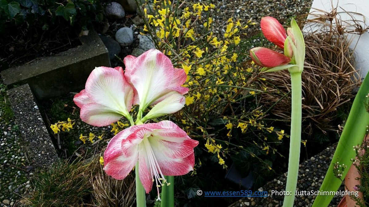 Pflanzenpower im Januar: Winter-Jasmin und Amaryllis